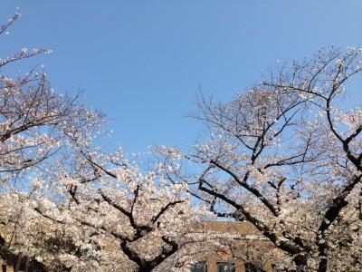 東大御殿下近くの桜