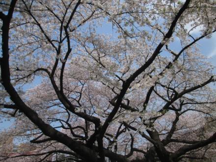 東京都文京区2016年4月6日の桜