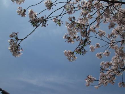 東京大学構内御殿下の桜