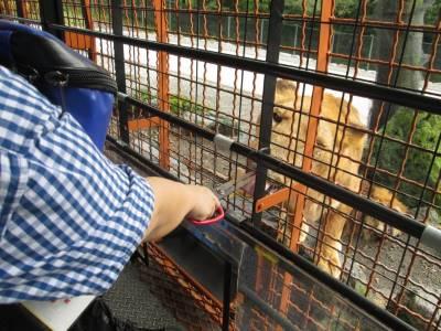 サファリパークでライオンに餌