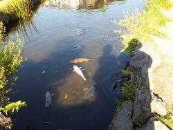 忍野八海で鯉