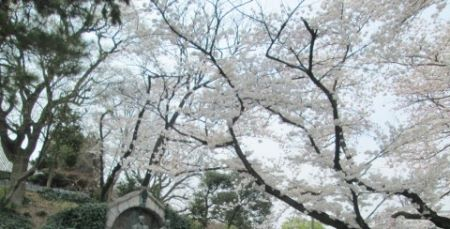 2018年東大桜