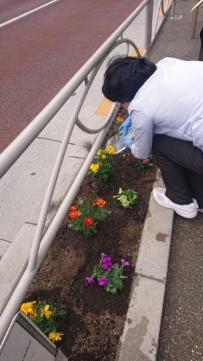 本郷通りの花壇にペチュニアとマリーゴールドを植えているところ
