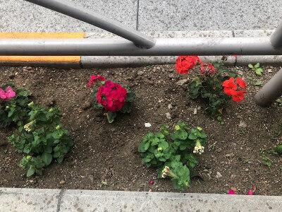 2019年6月本郷通りの花壇にゼラニウムとペチュニアを植えました
